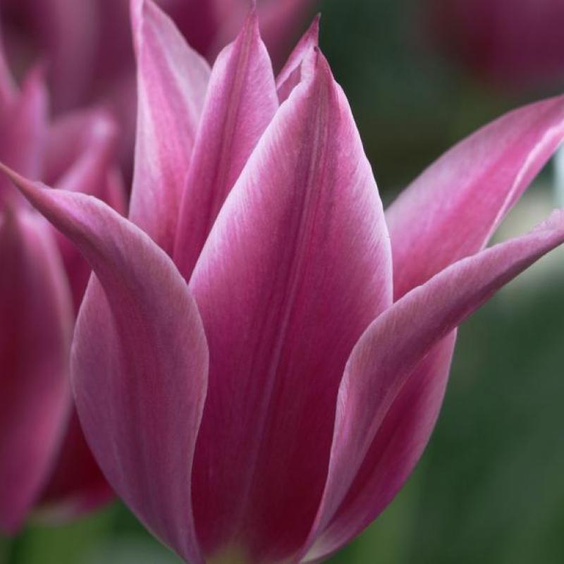Тюльпаны Мэйтайм