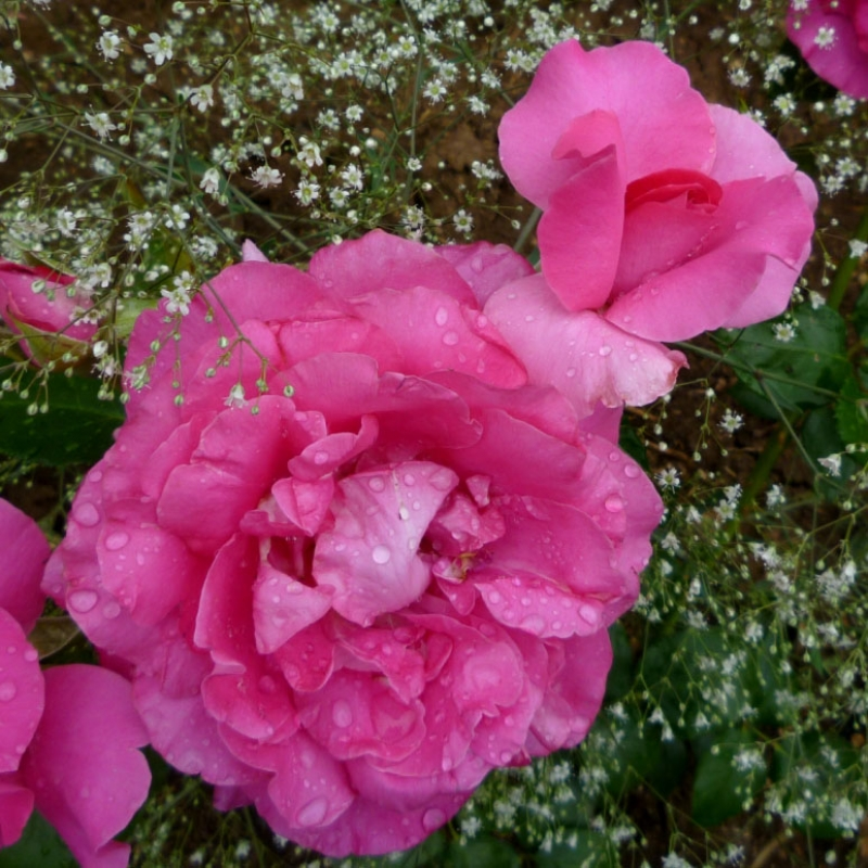 Розы Маноу Меилланд