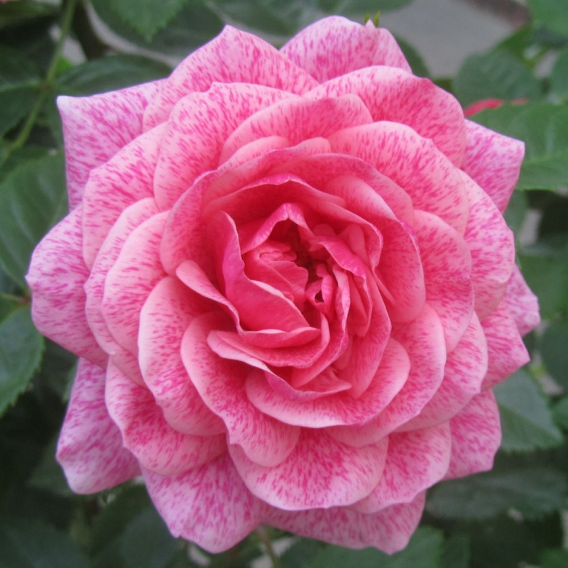 Розы Камелот