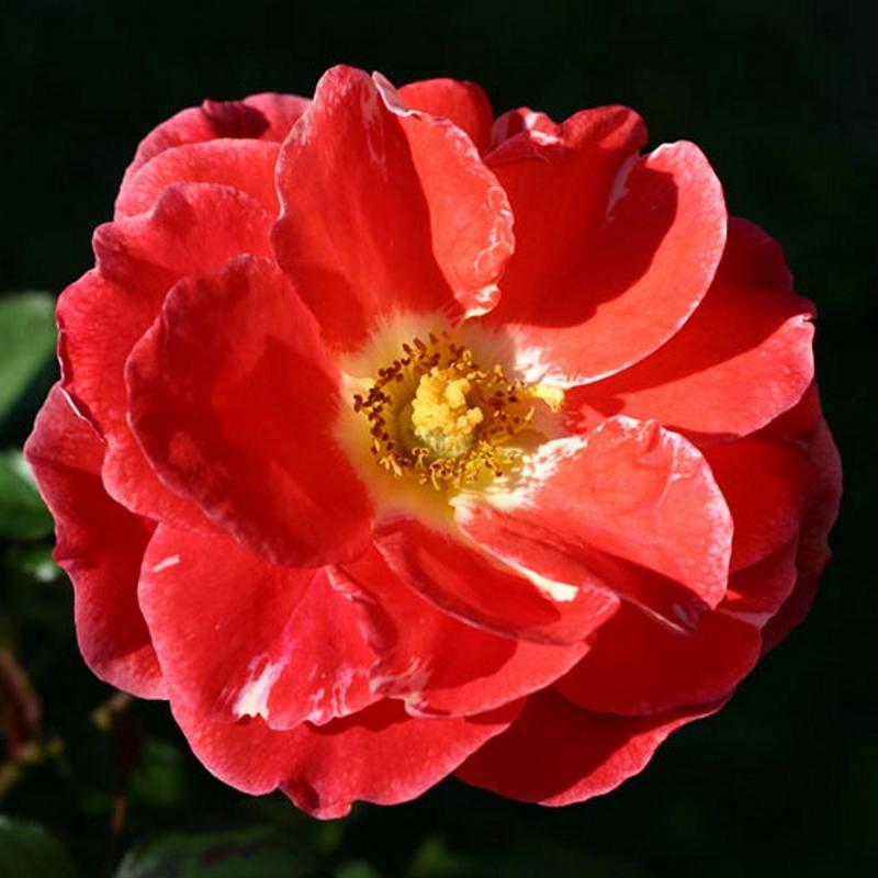 Розы Матанги