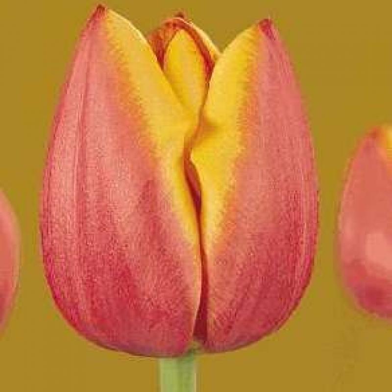 Тюльпаны Манон