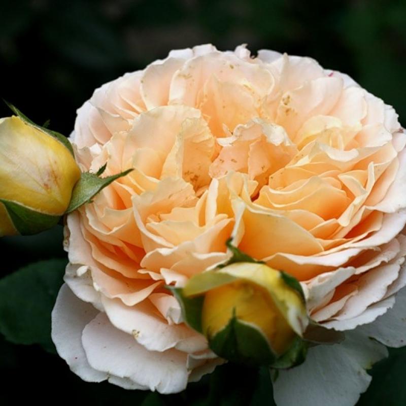 Розы Дэни Хан