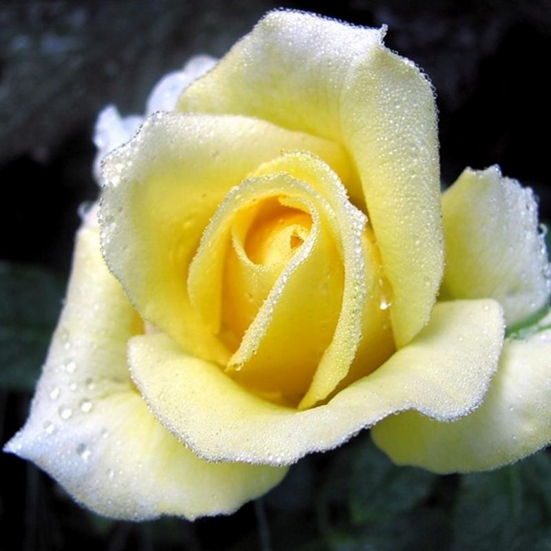 Розы Буттеркрим