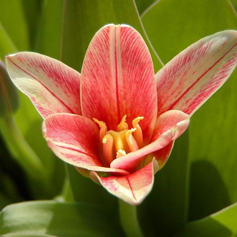 Тюльпаны Жантин