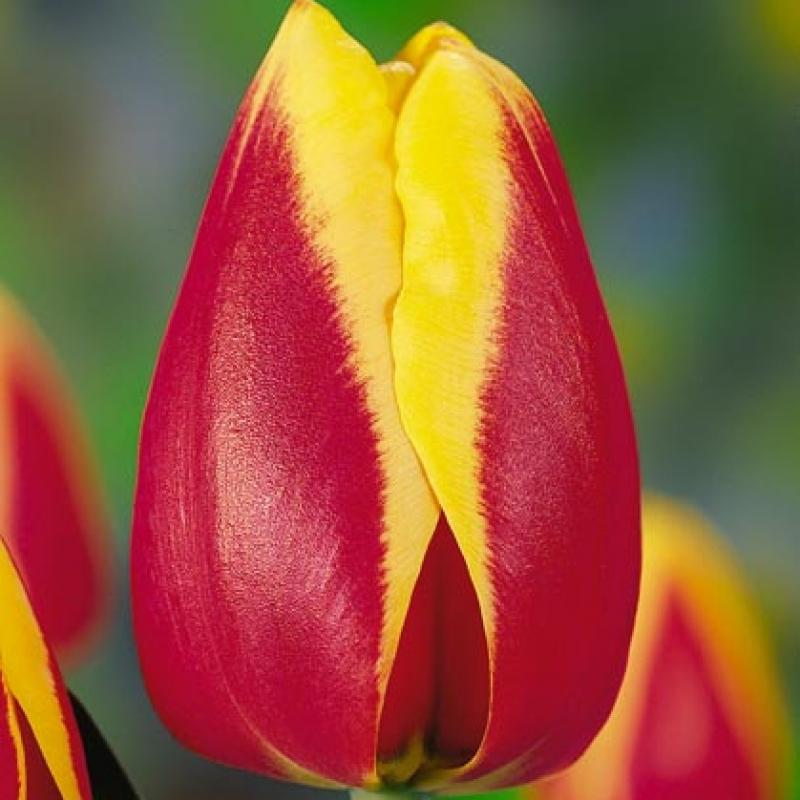 Тюльпаны Розана