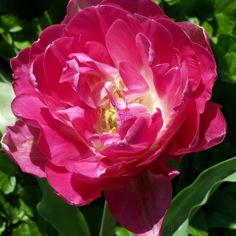 Тюльпаны Мэйвандер