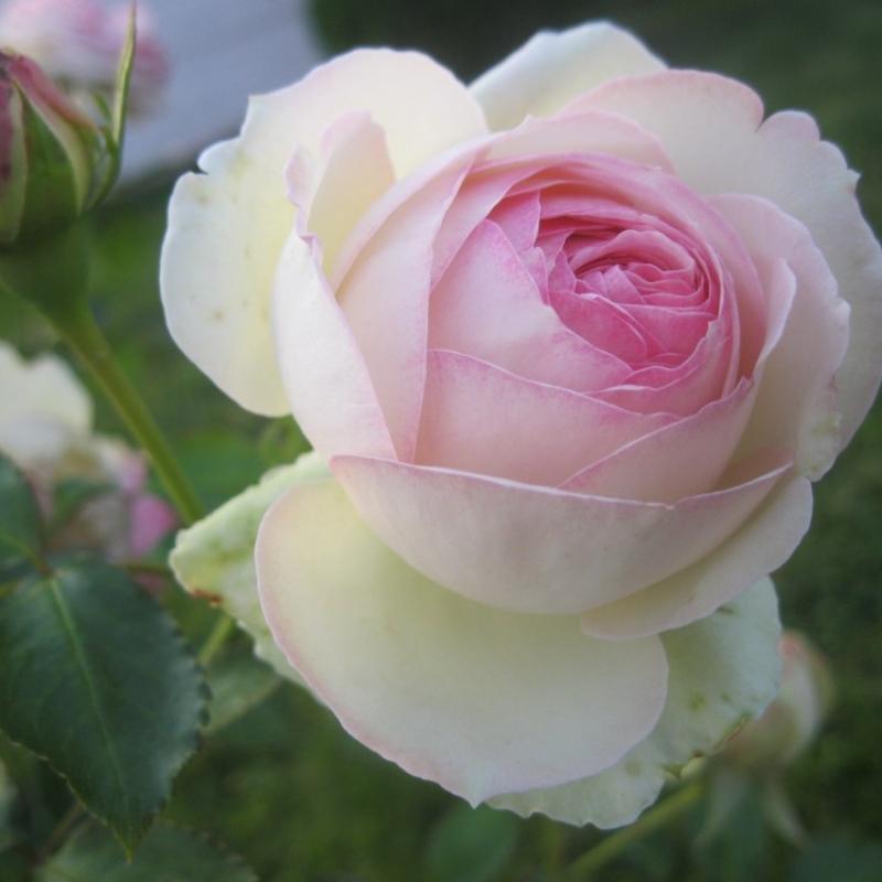 Розы Эден Роуз