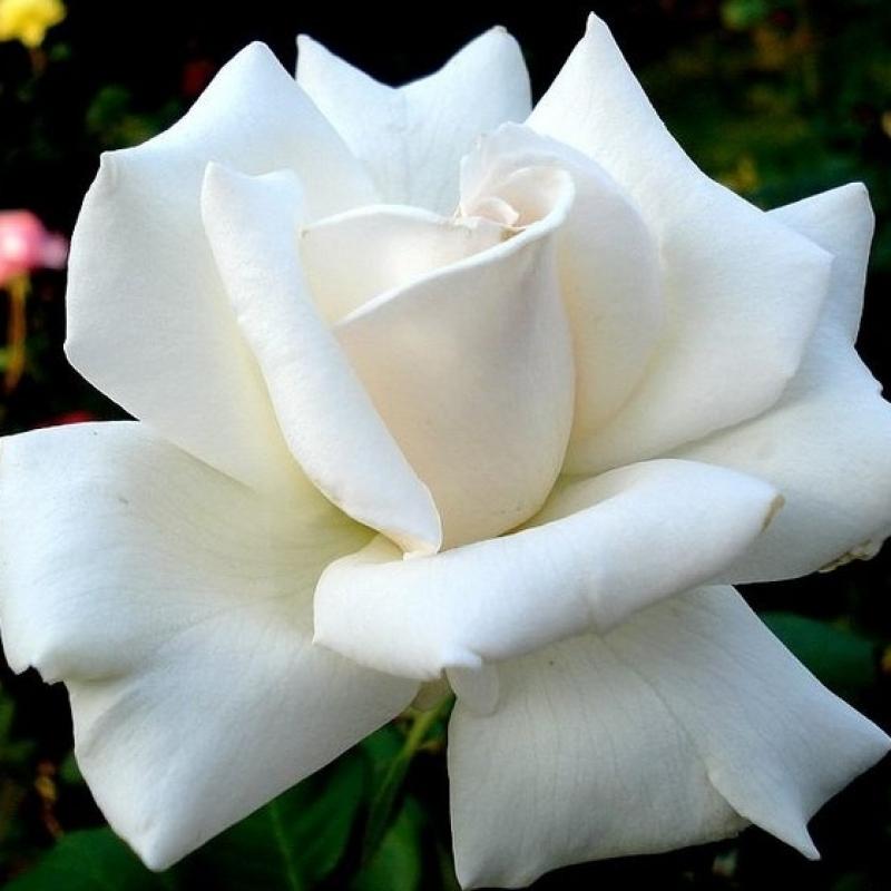 Розы Роял Филармоник