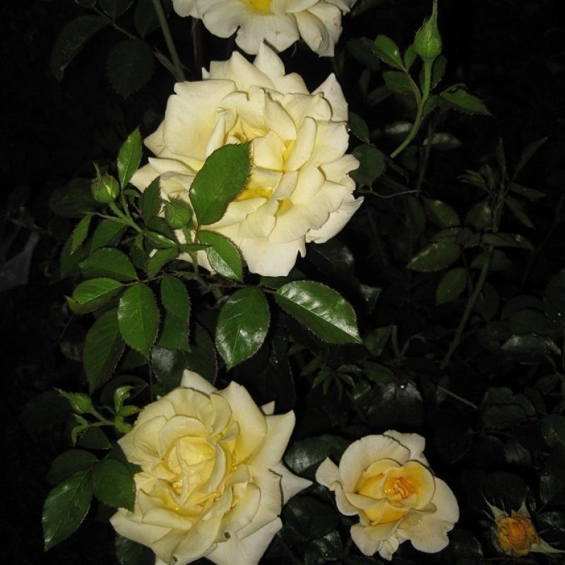 Розы Стернталер