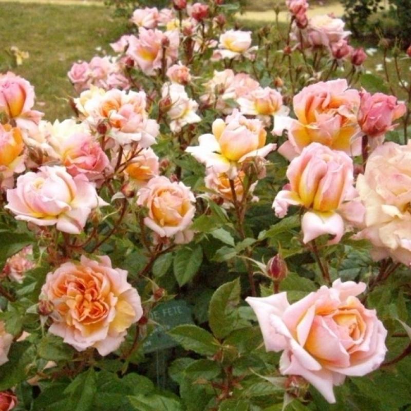 Розы Жур де фете