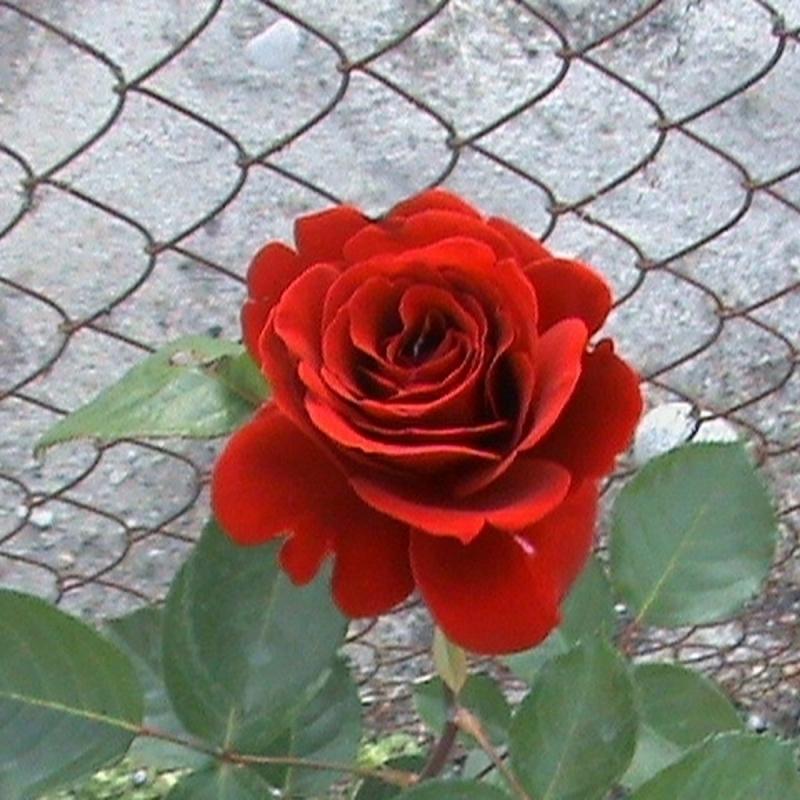 Розы Орфео