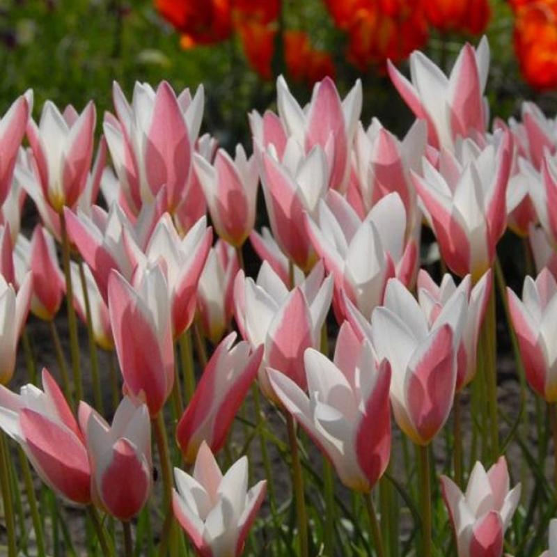 Тюльпаны Леди Джэйн