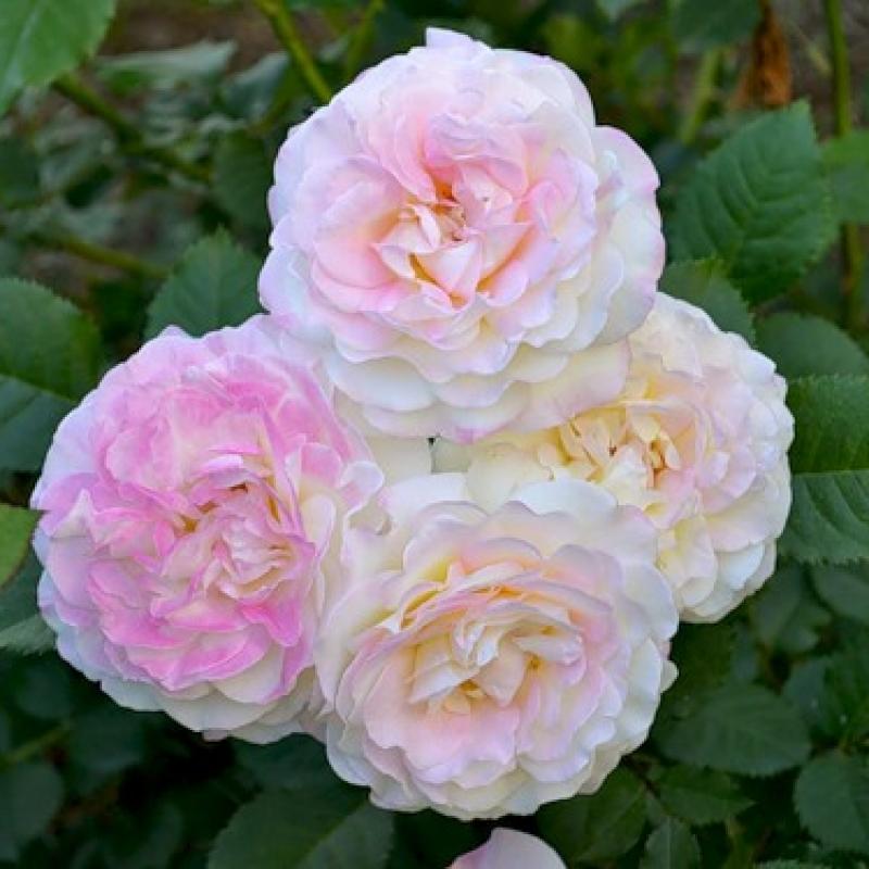 Розы Аврора де Жак-Мари