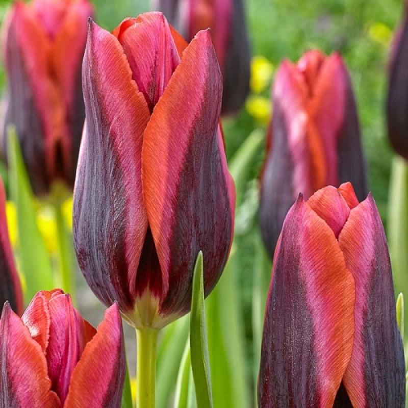 Тюльпаны Слава