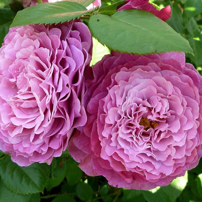 Розы Вентило