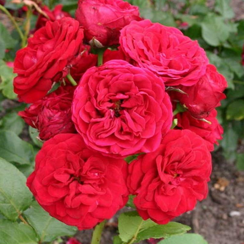 Розы Инсел Майнау