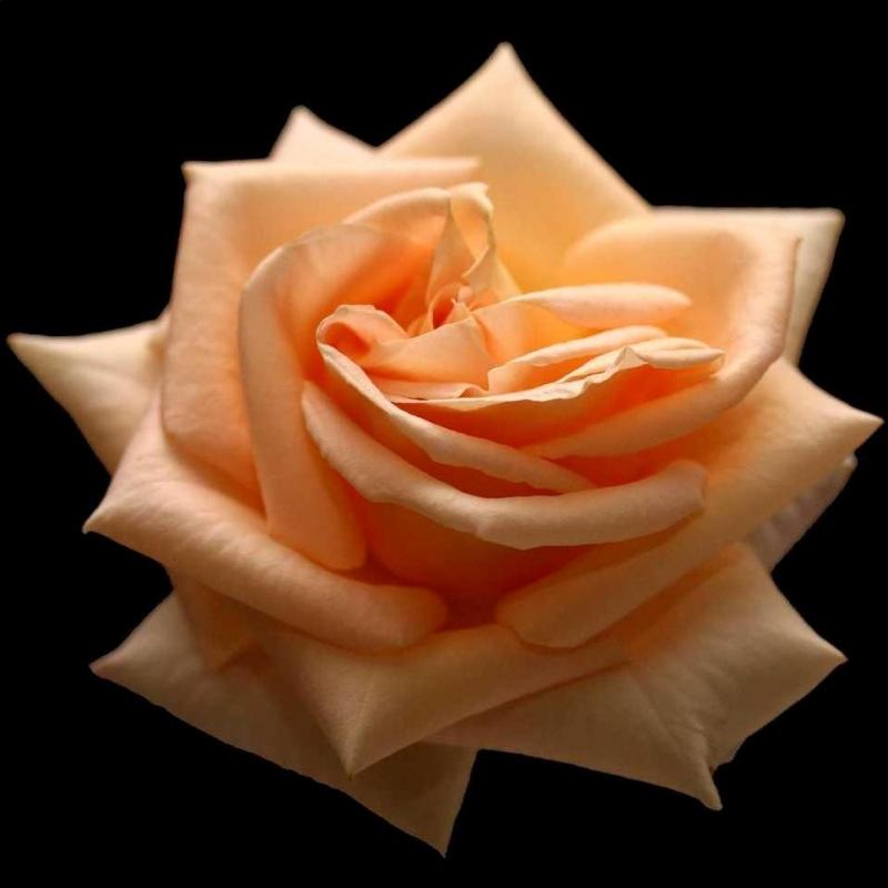Розы Элизабет Харкнесс
