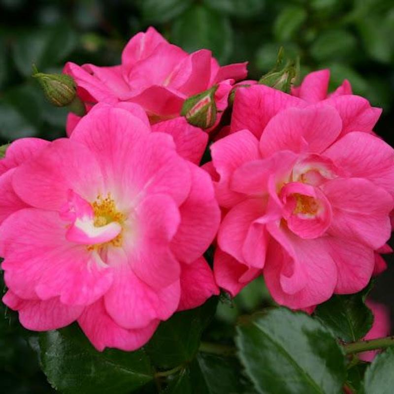 Розы Палменгартен Франкфурт