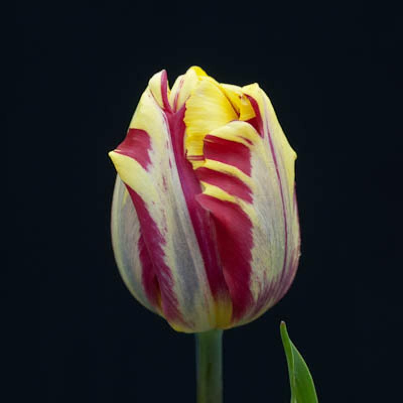 Тюльпаны Эль Сид