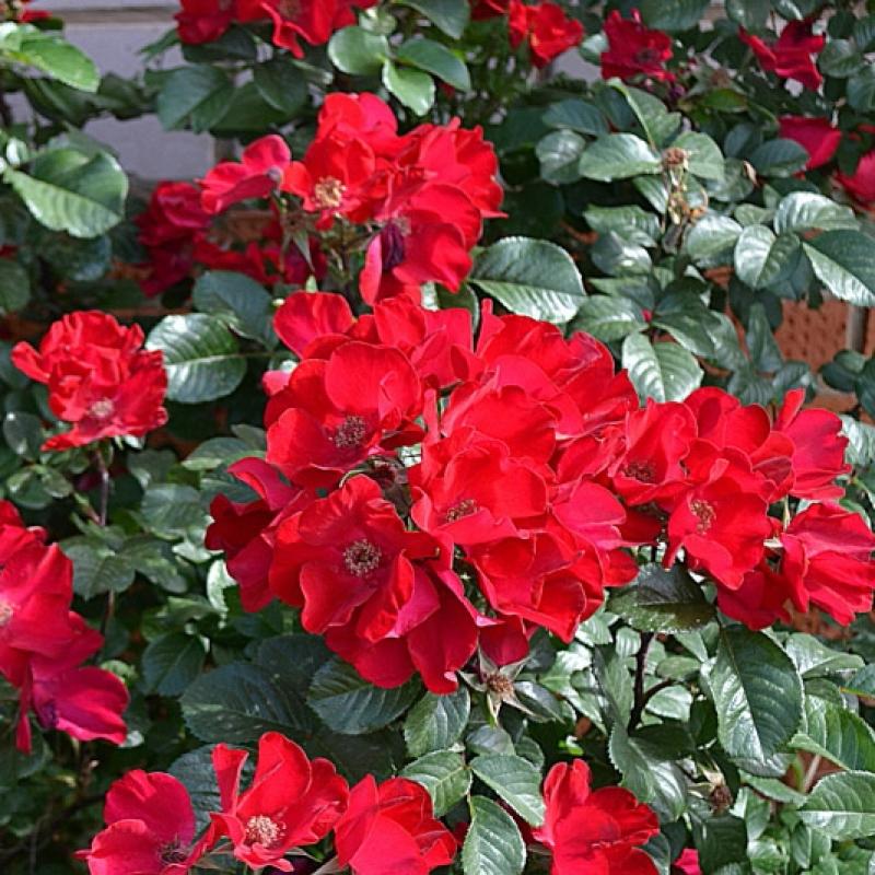 Les roses Robusta