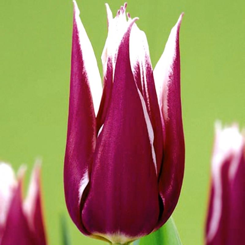 Тюльпаны Асахи