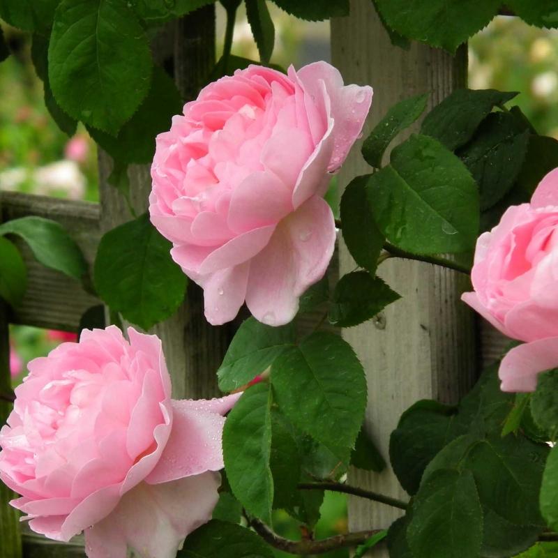 Розы Констанс Спрай