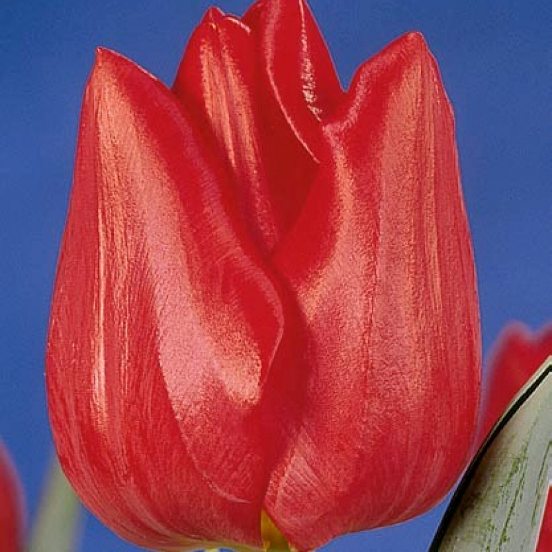 Тюльпаны Холланд Нейшионал