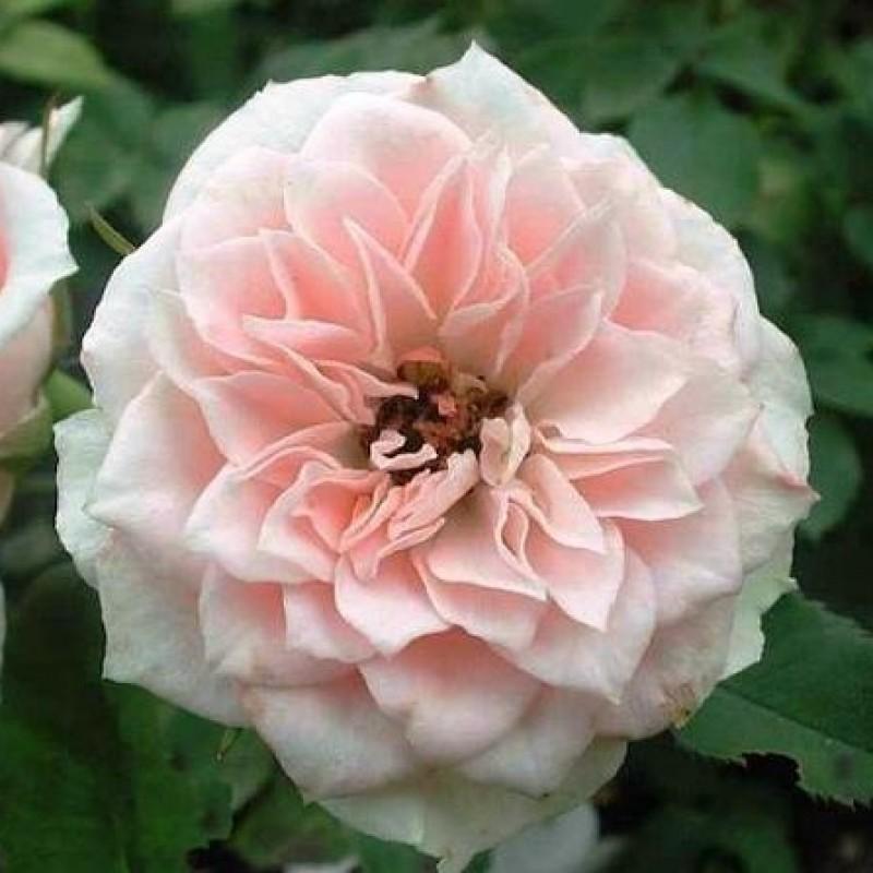 Розы Даниела
