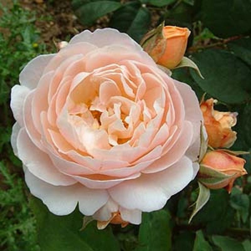 Розы Свит Жульет