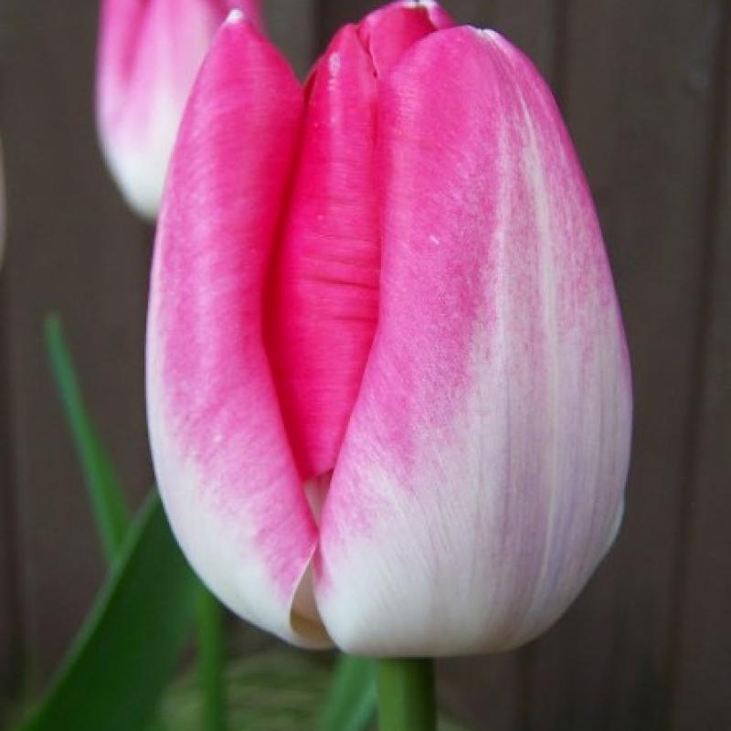 Тюльпаны Иннуендо