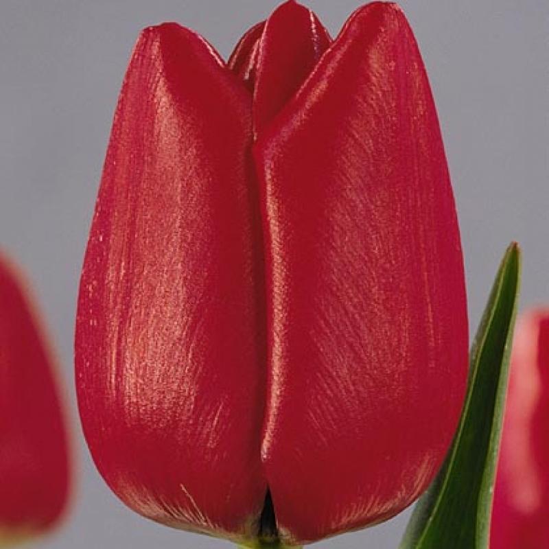 Тюльпаны Кингдом