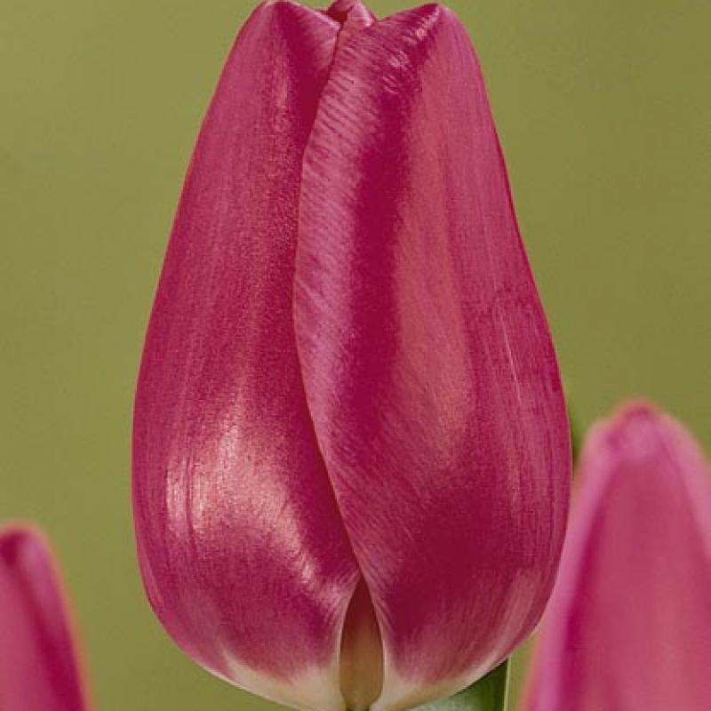 Тюльпаны Мэгезин Прима