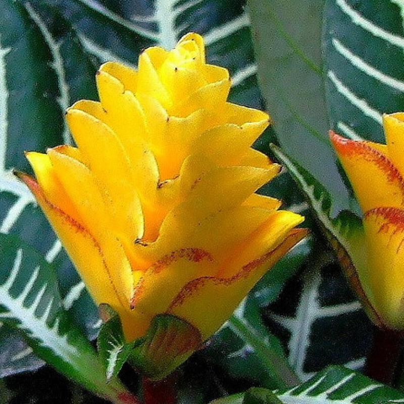 Комнатные растения Афеландра