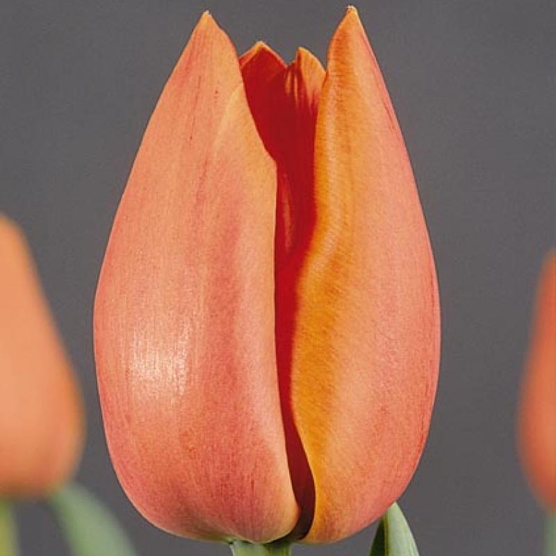 Тюльпаны Телеком