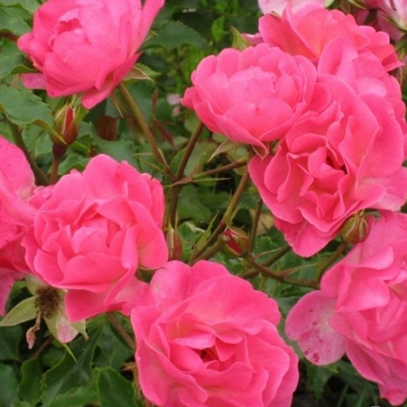 Розы Макси Вита