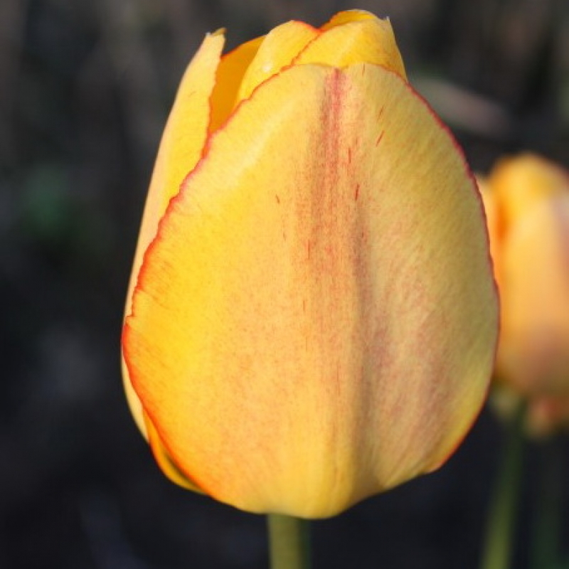 Блашинг апельдорн тюльпан