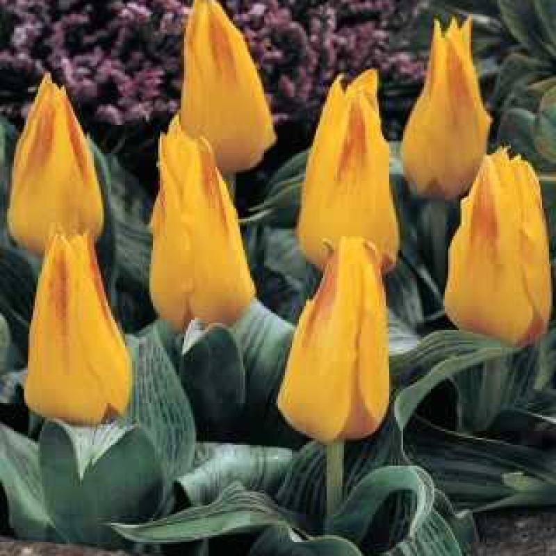 Тюльпаны Берлиоз
