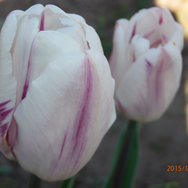 Тюльпаны Флеминг Флаг