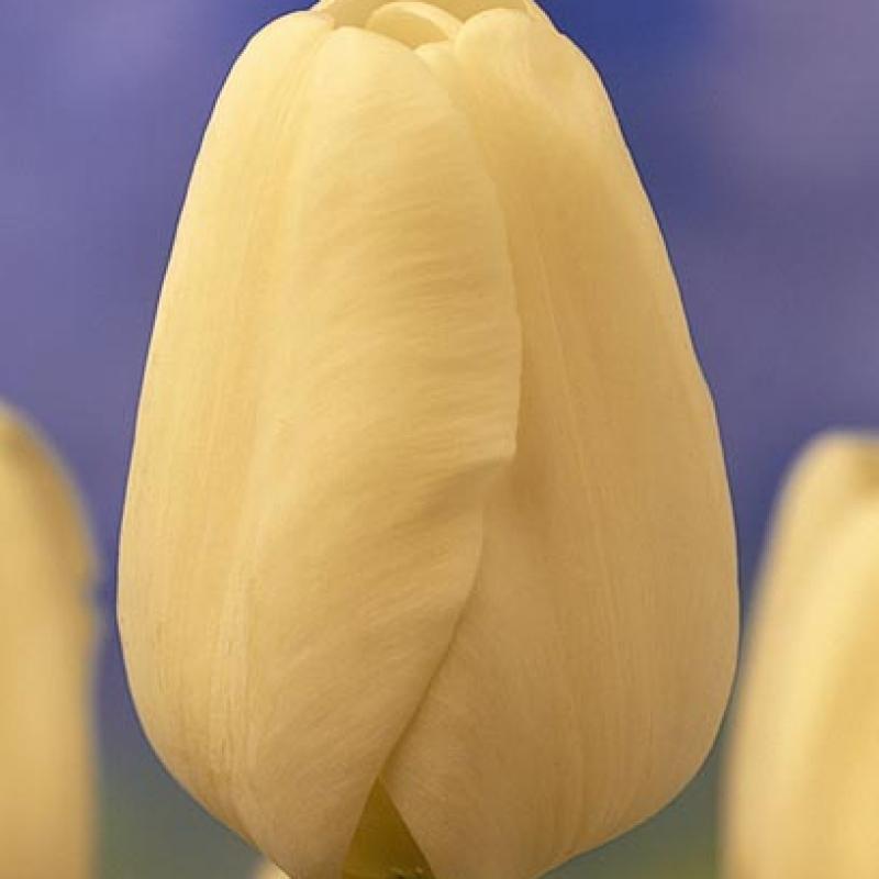 Тюльпаны Маттерхорн