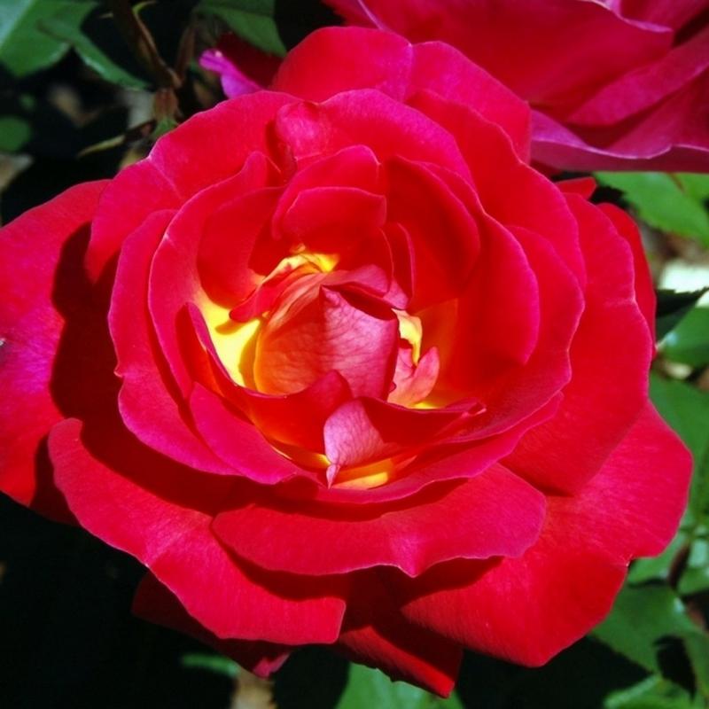 Розы Иветте Хорнер