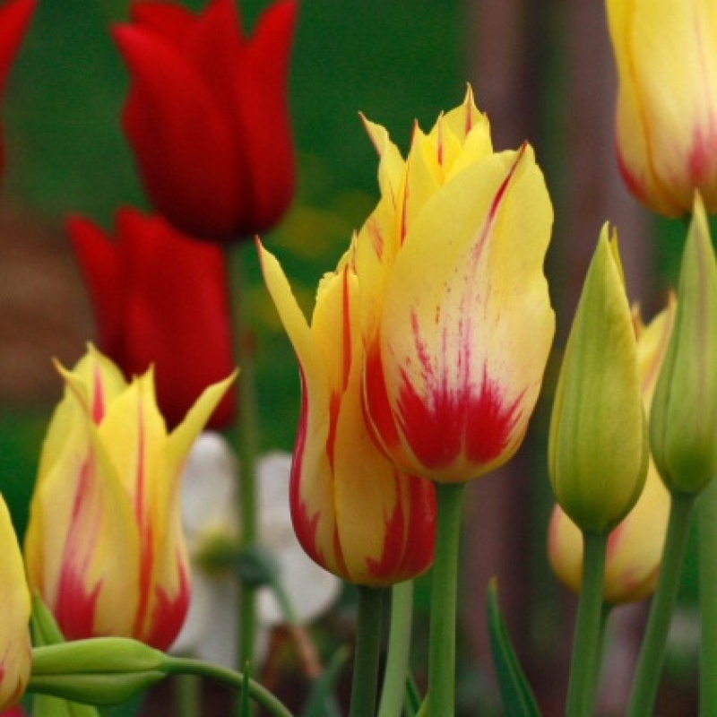 Тюльпаны Мона Лиза