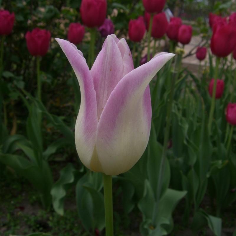 Тюльпаны Элегант Леди