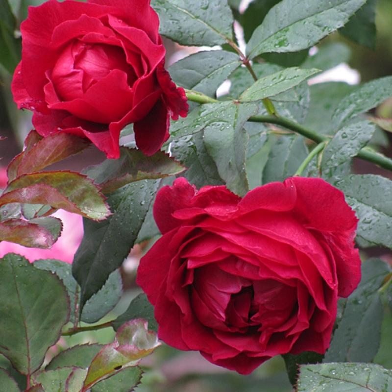 Розы Дино де Лаурентис
