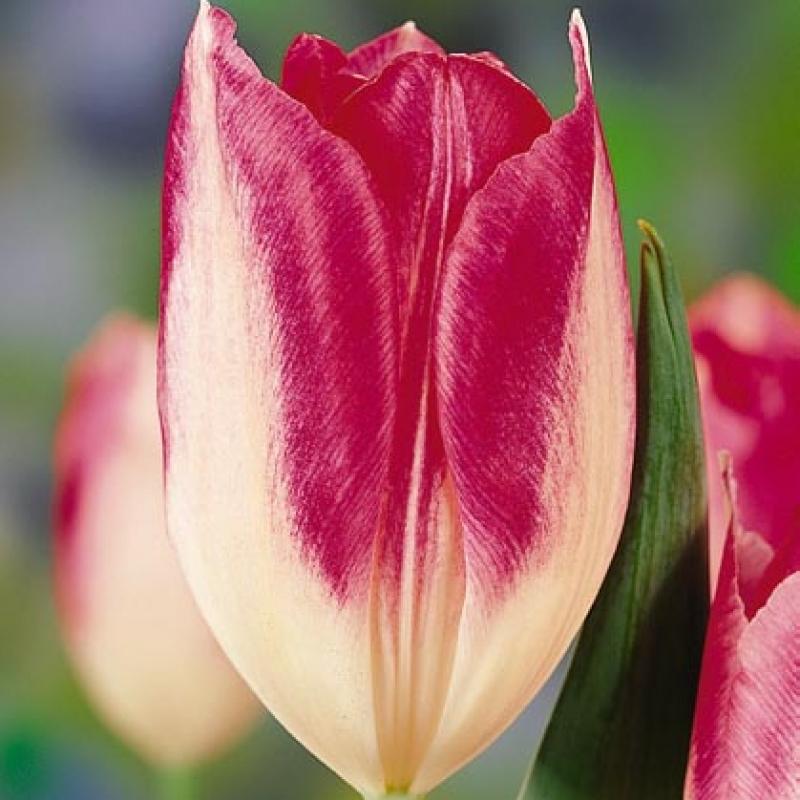 Тюльпаны Тарафа Кауфманния