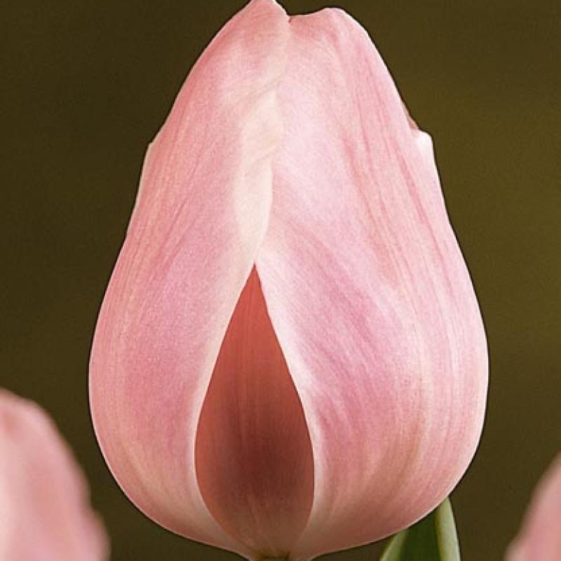 Тюльпаны Розали