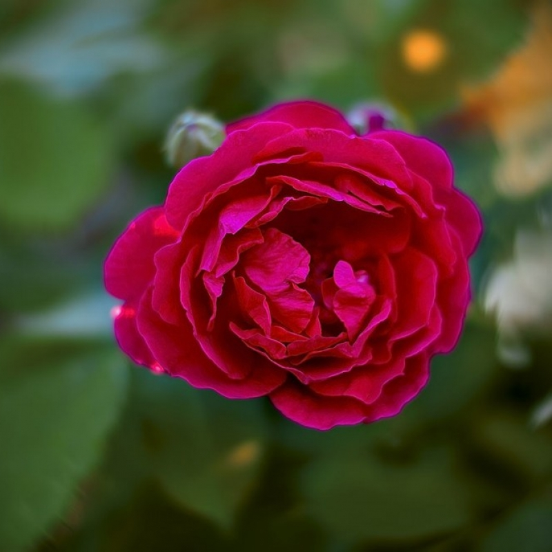 Розы Эротика