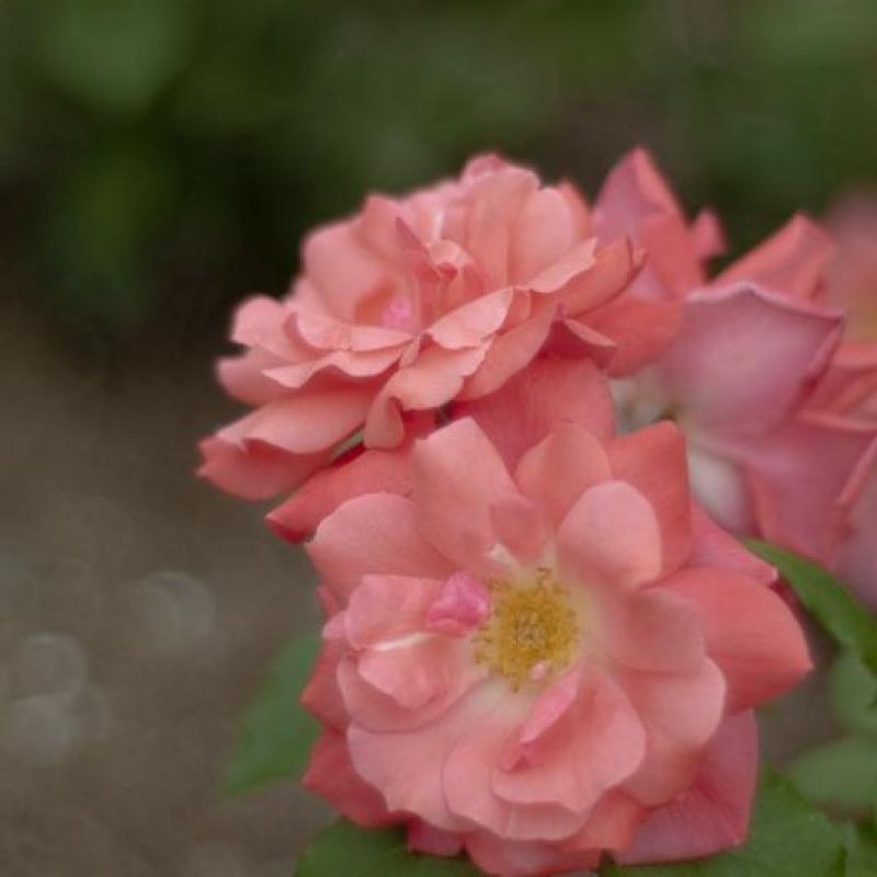 Розы Пернилл Поулсен
