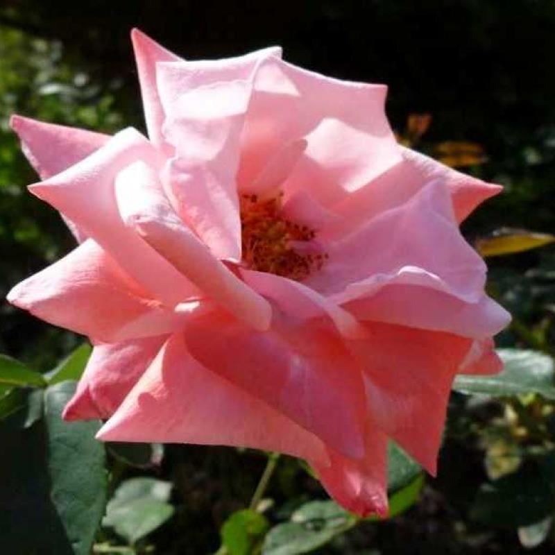 Розы Утро Москвы