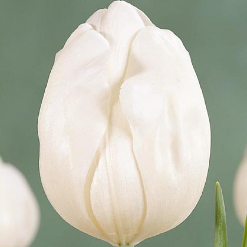 Тюльпаны Топуайт