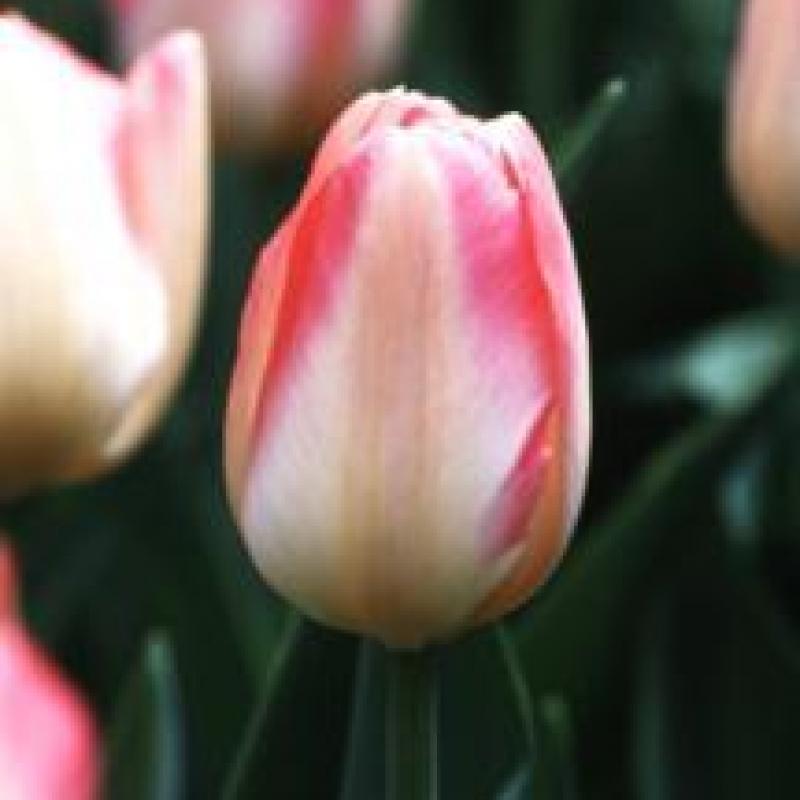 Тюльпаны Тендер Бьюти
